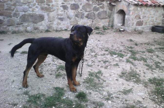 Rottweiler male de 15mois à vendre
