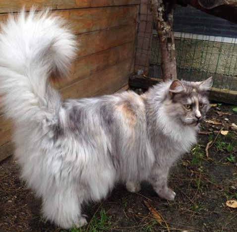 Jolie chatte 3ans Maine Coon