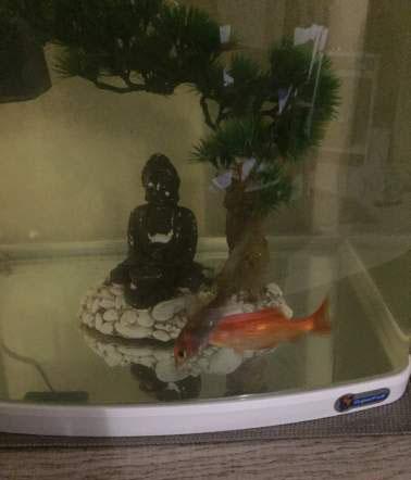 Deux poissons rouge avec aquarium
