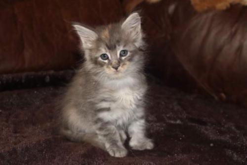 chaton femelle du maine coon à donner