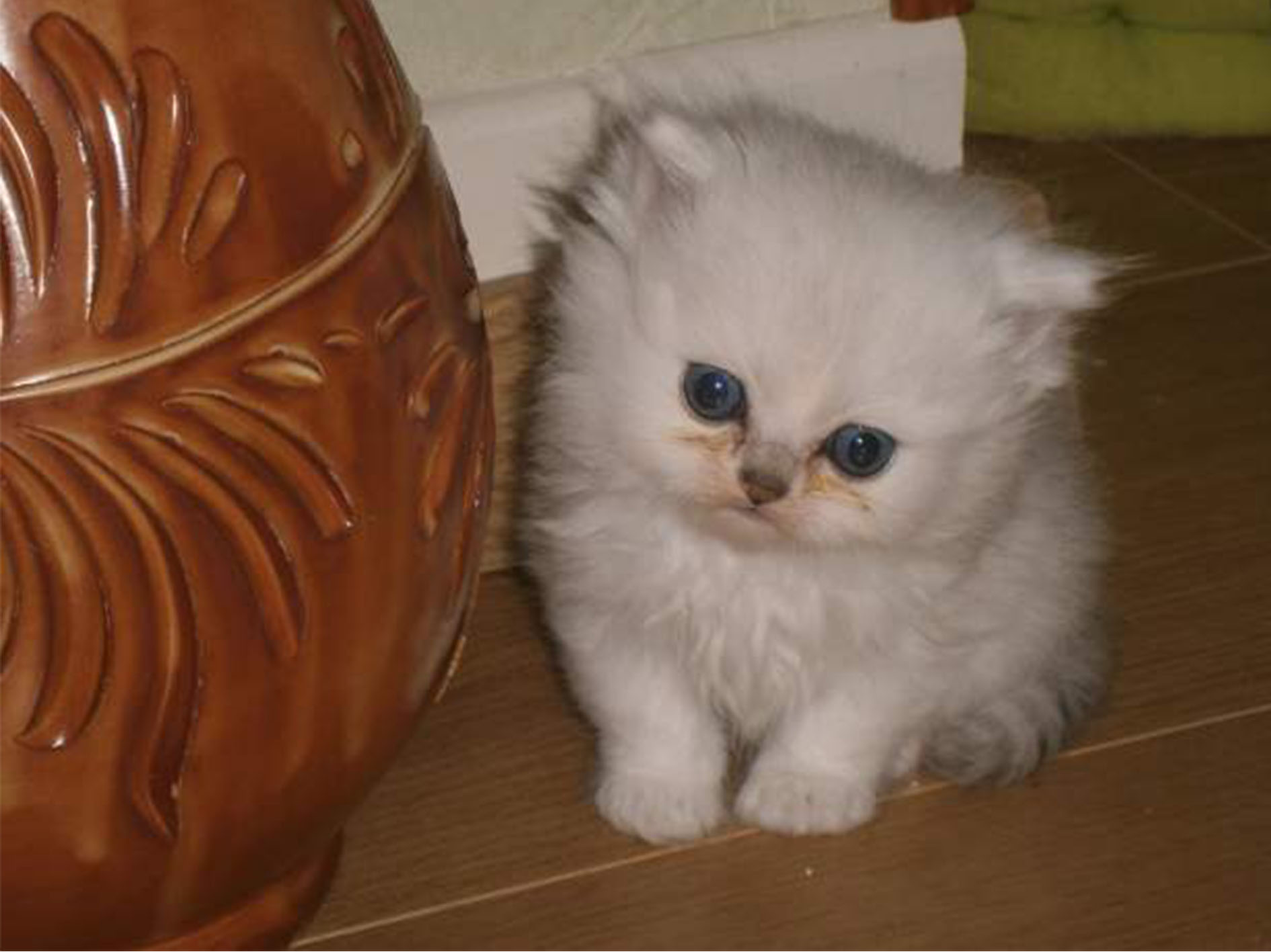 Vente de chatons Persans