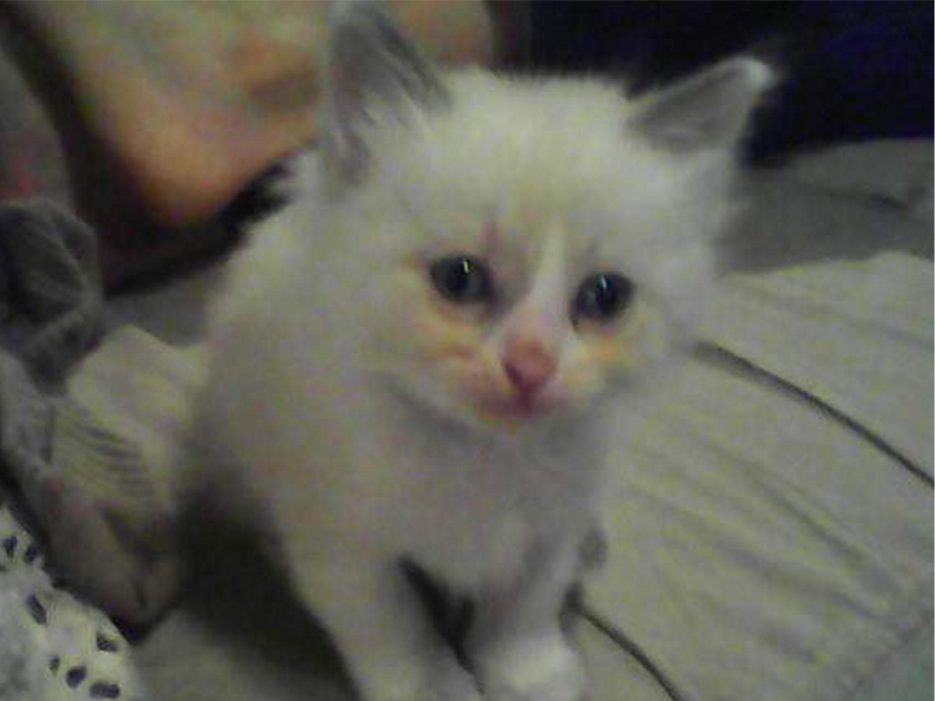 Bébé chaton Ragdoll à