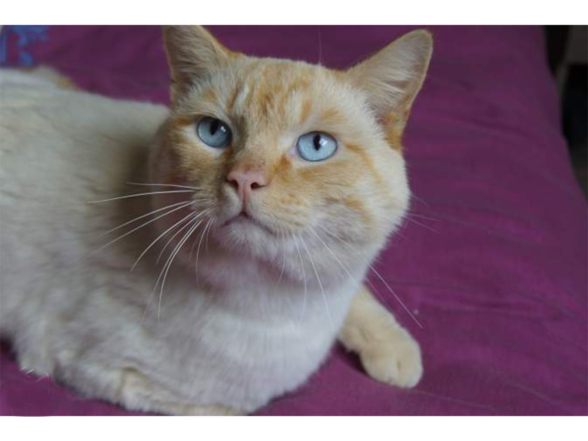 Aldo , chat siamois red point d'un an
