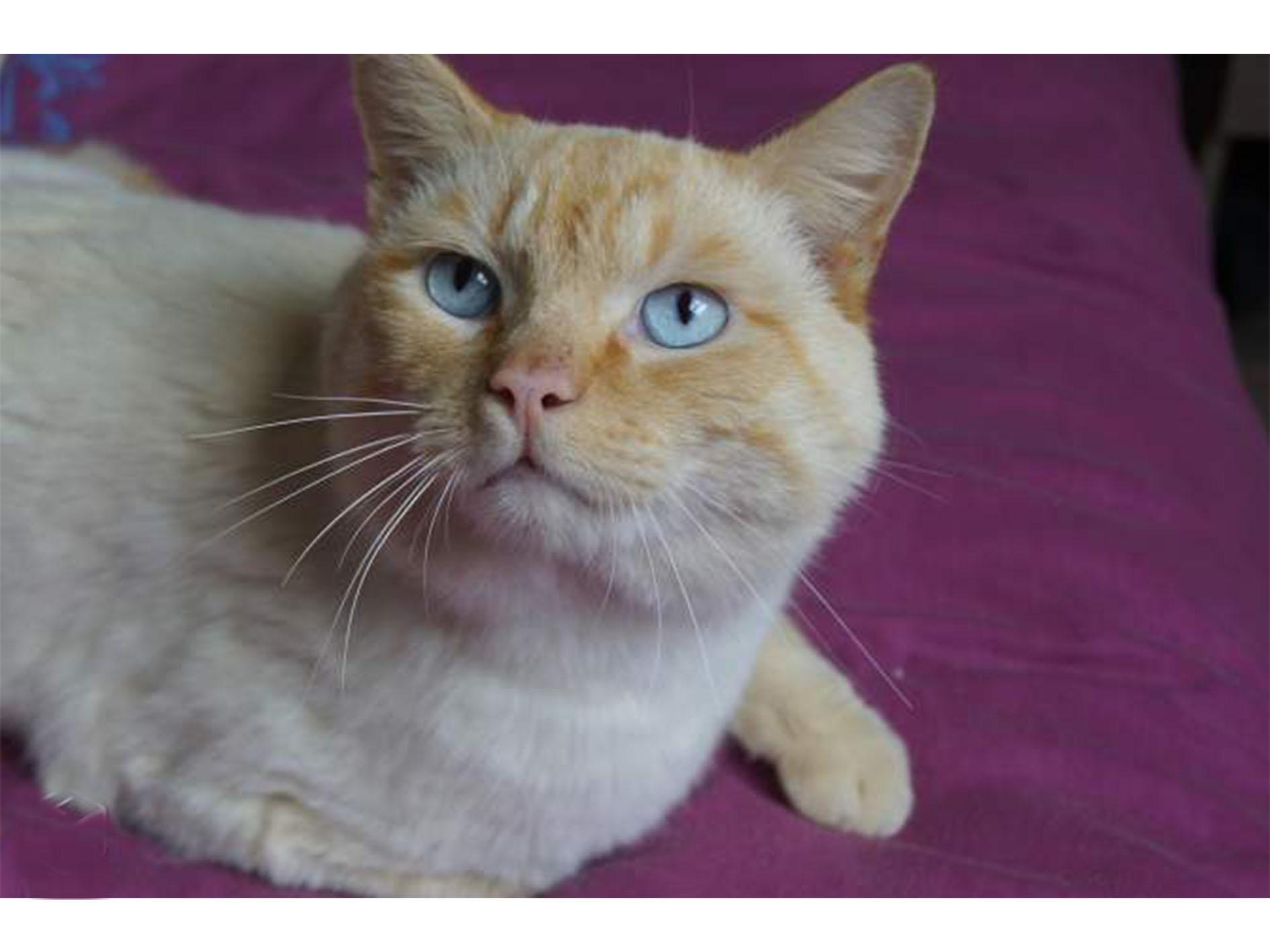 Vente d\'un chat Siamois