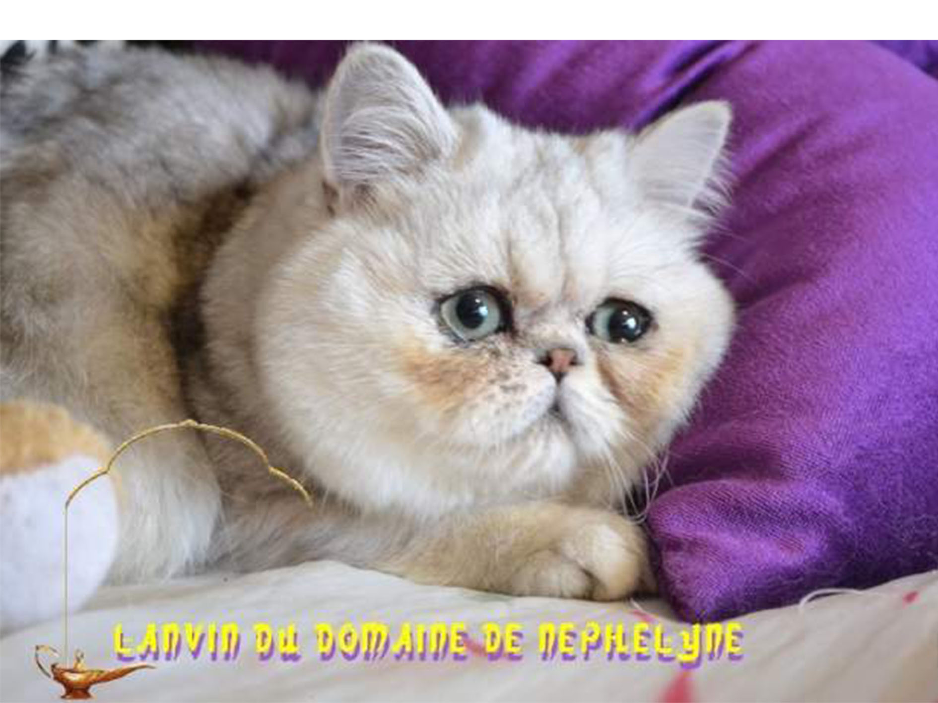 A vendre un chat Exotic