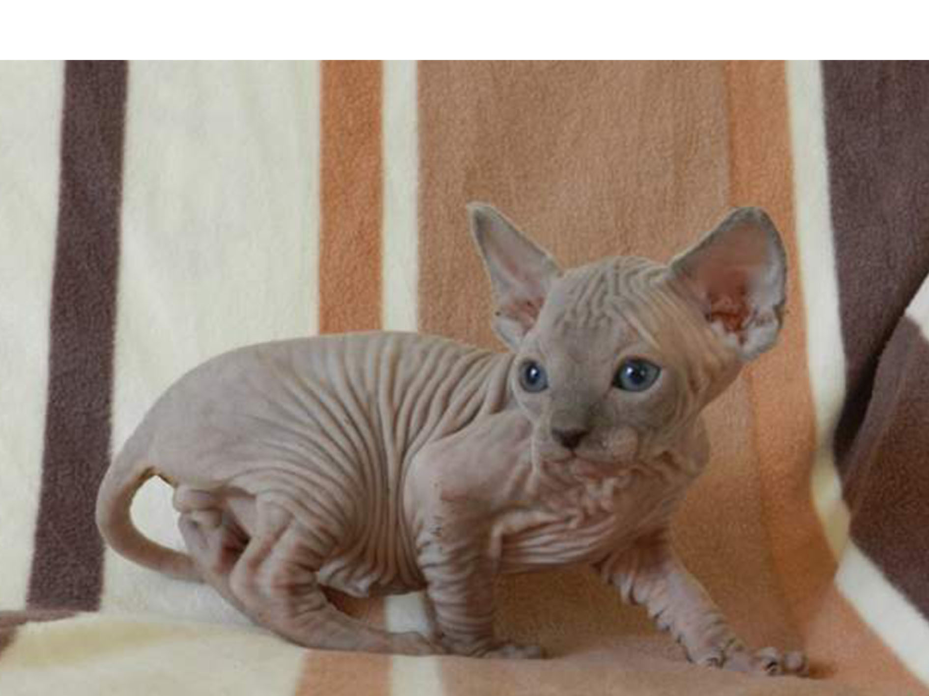 Chatons SPHYNX loof