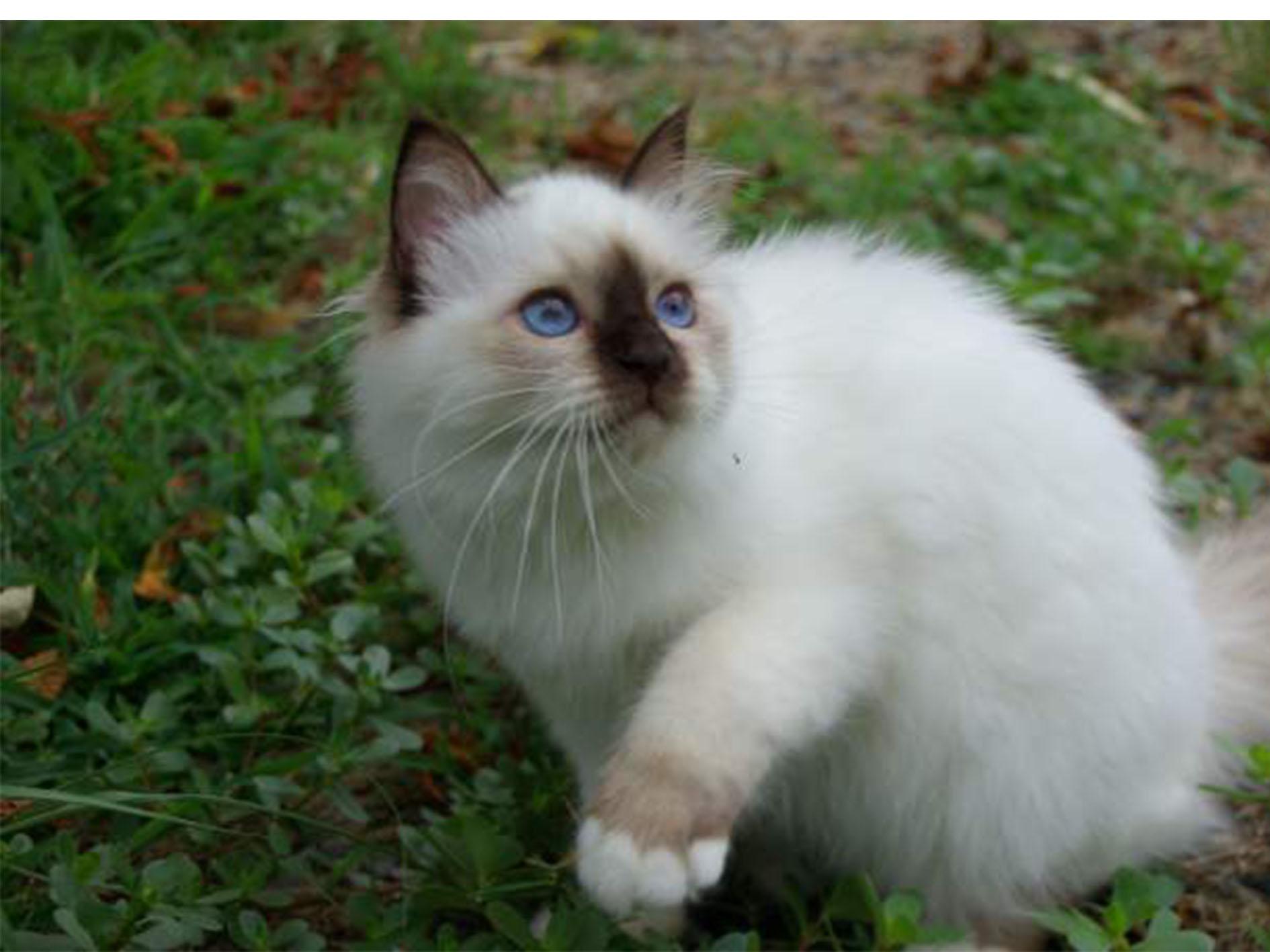 Magnifique chaton sacre de Birmanie pur race Loof