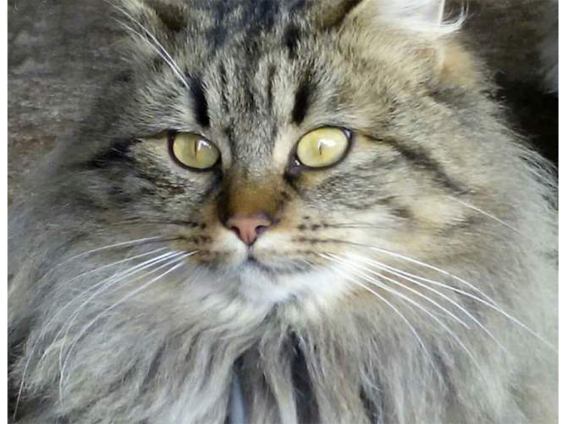 Chatons type norvégien