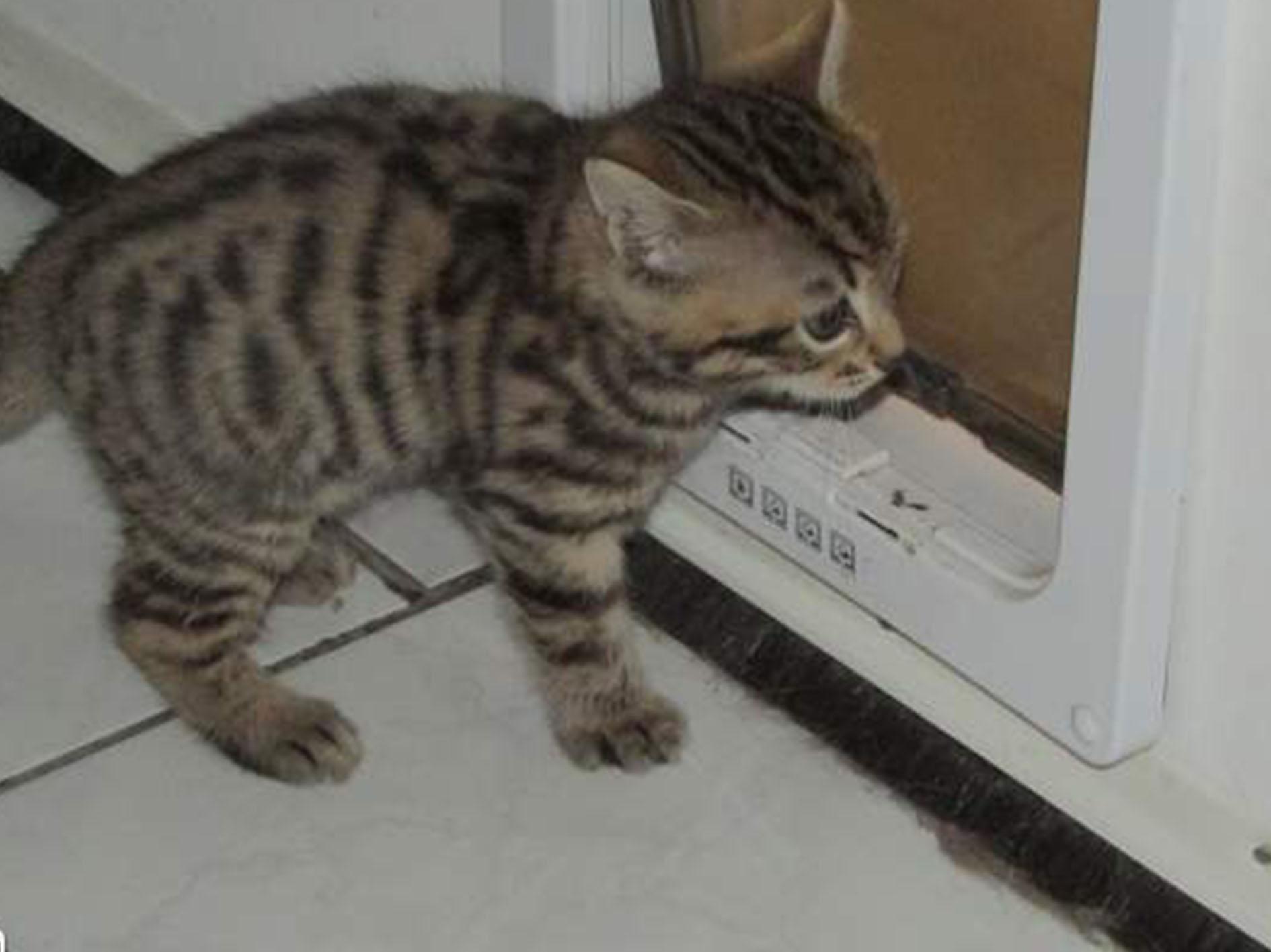 Un chaton de type Bengal