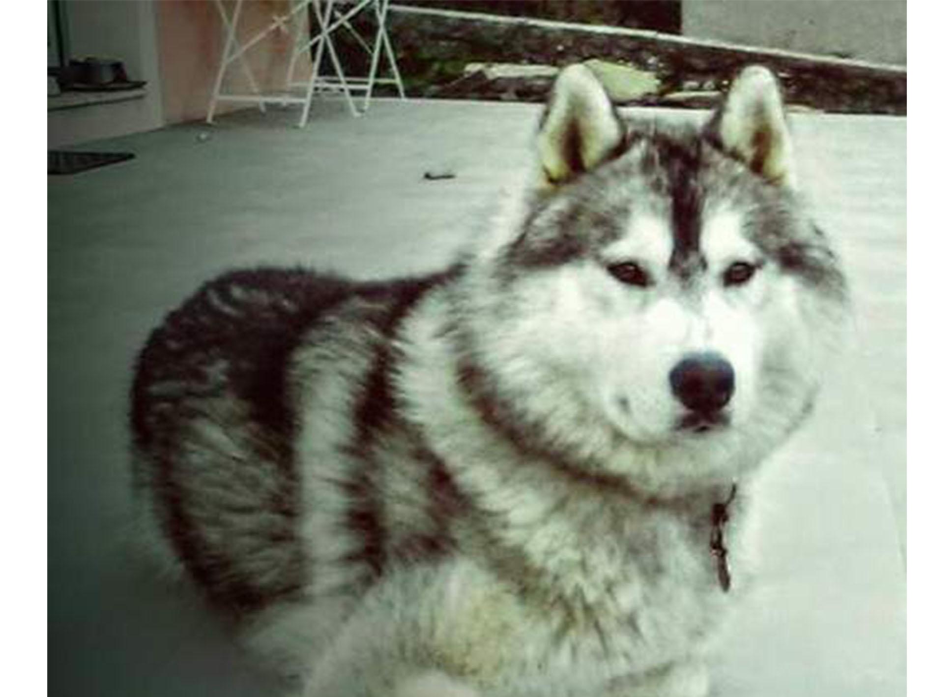 Je donne mon chien husky