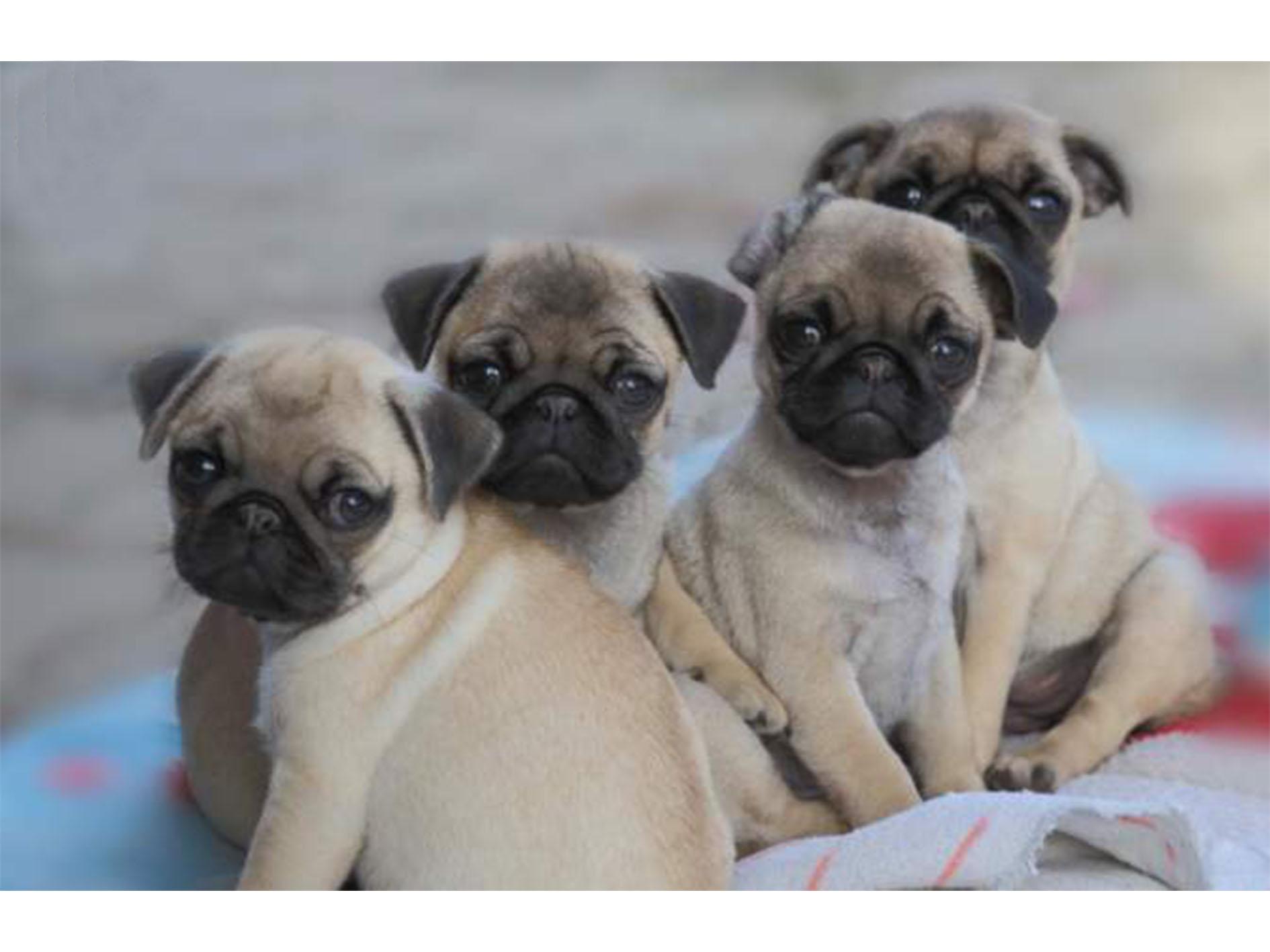 Les quatre chiots Carlin à vendre