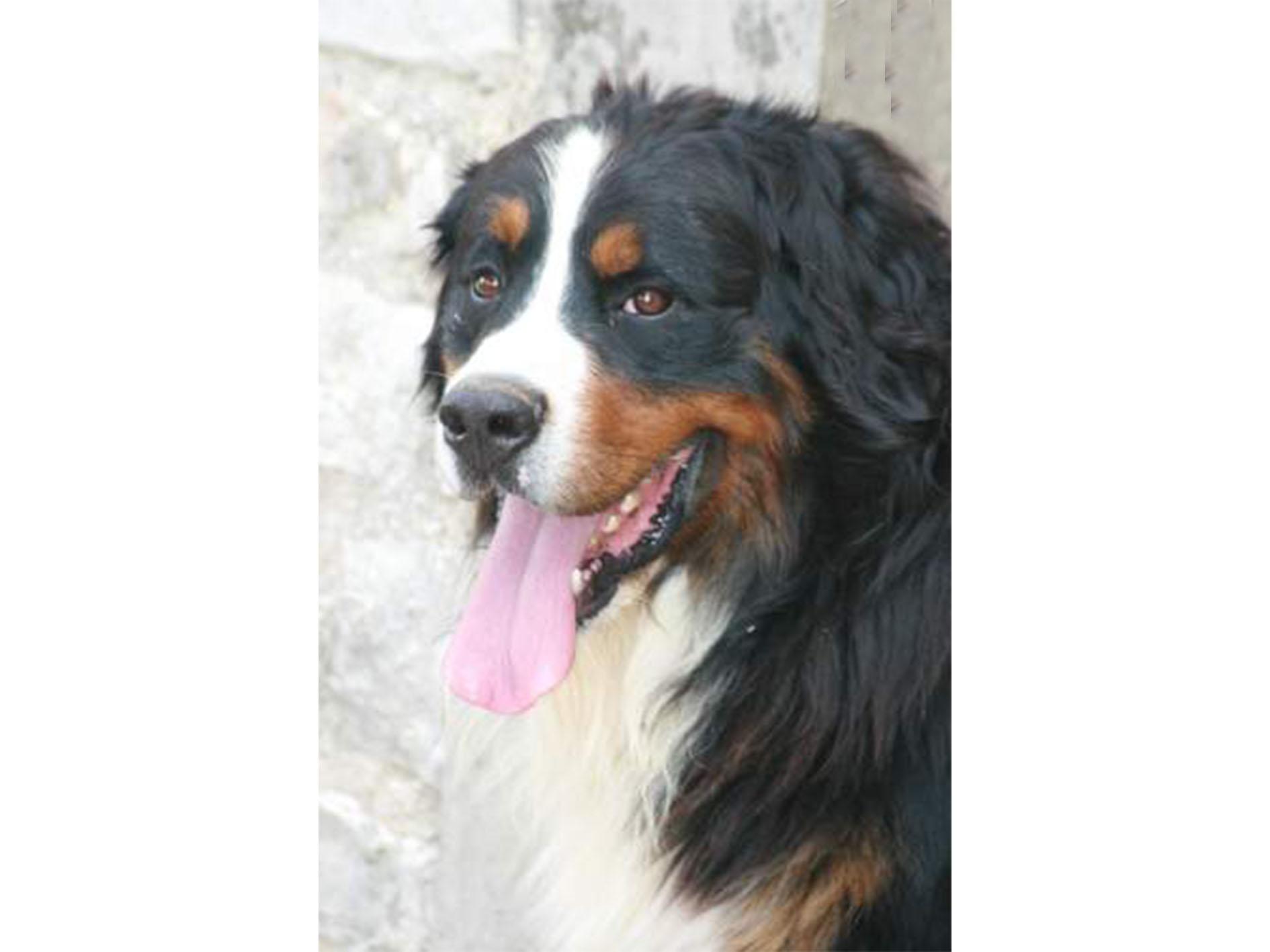 Vendre un chien Etalon Bouvier Bernois Lof