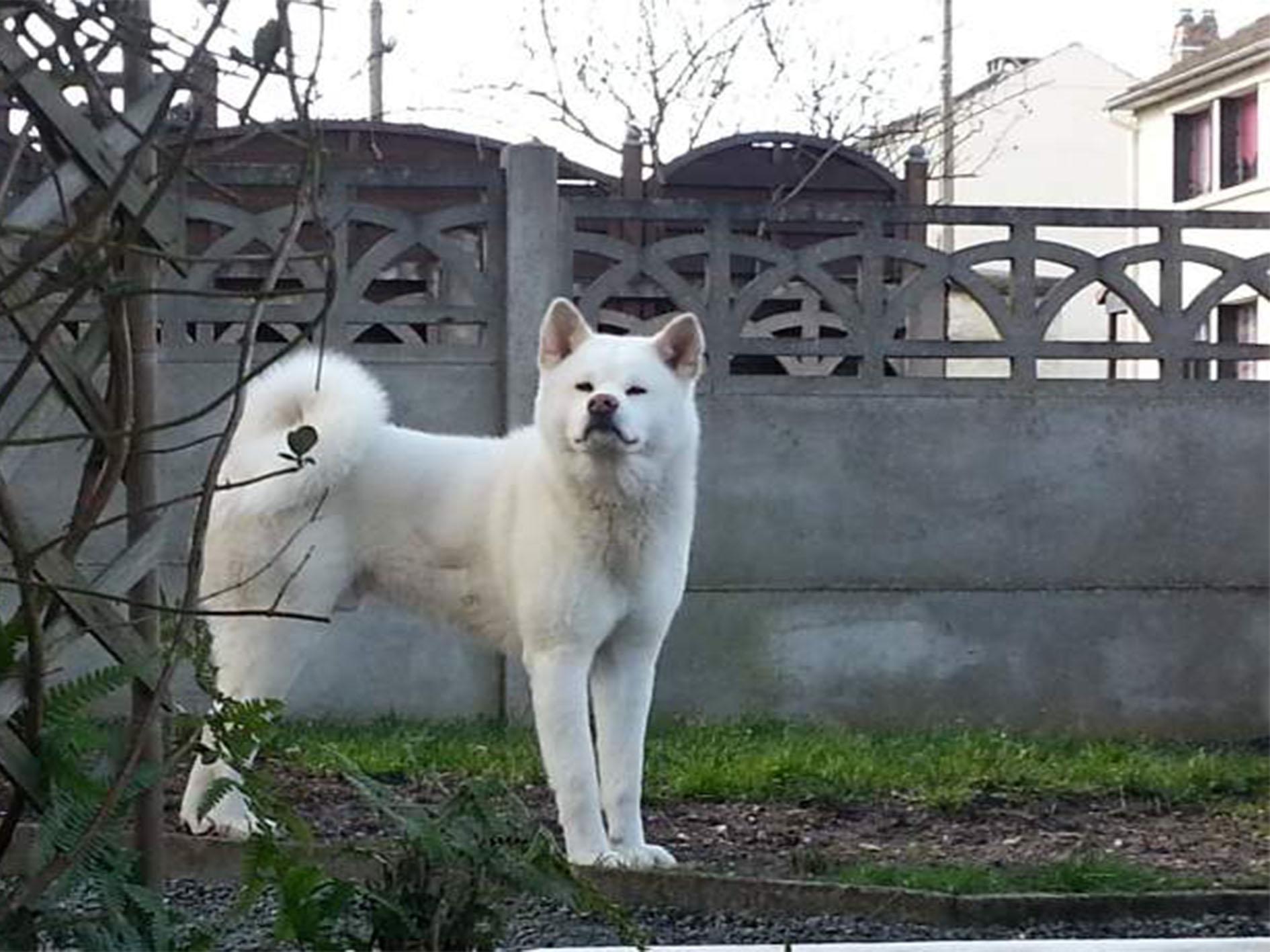 Mon chien Akita Inu est