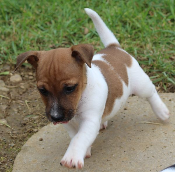 Chiot type jack russell