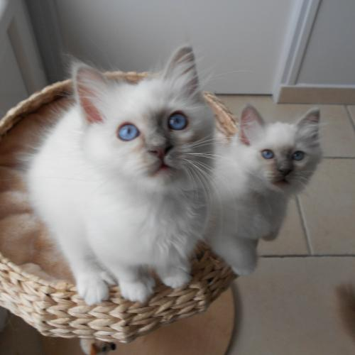 donne urgent un couple chaton