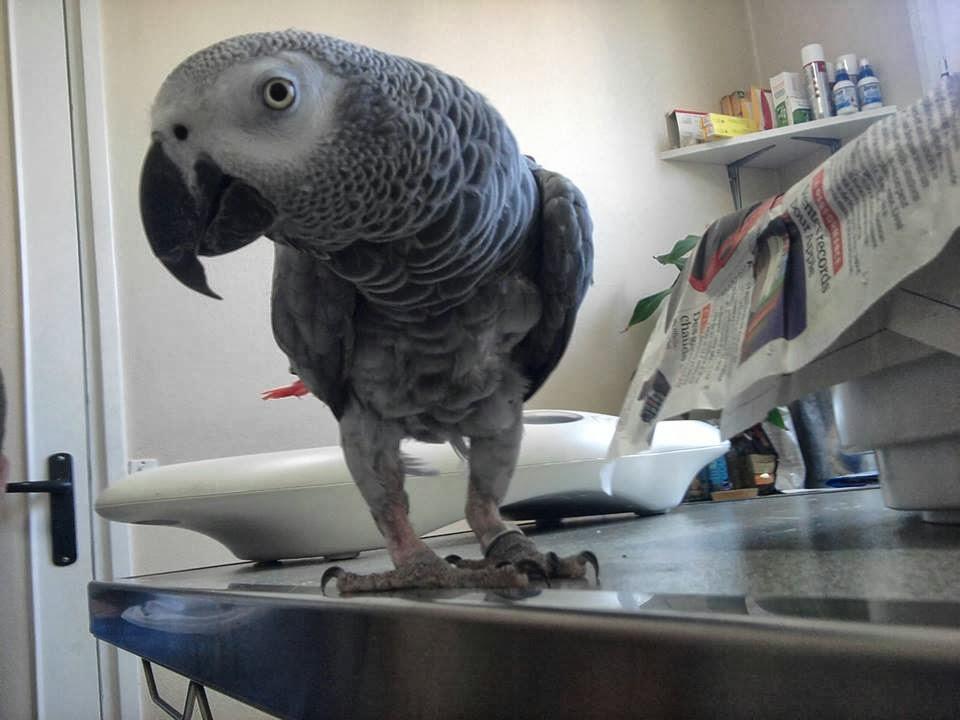 perroquet Gris du gabon mâle DARNE