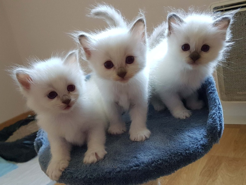 2 chatons type Sacré de Birmanie non LOF