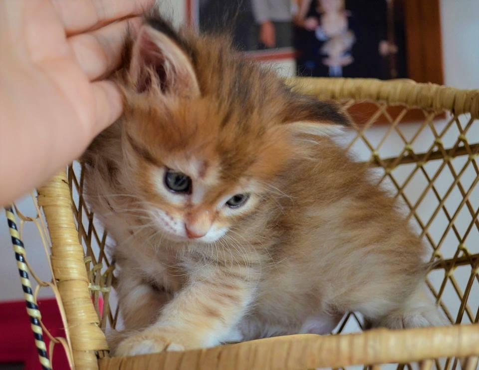 je donne mon chat sibérien de 3 mois
