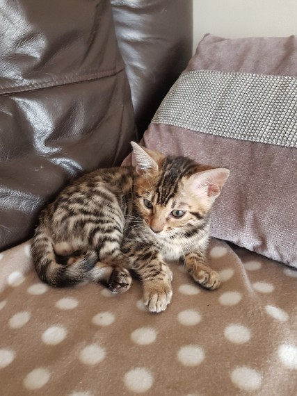 A Reserver 3 Magnifiques Chatons Bengal