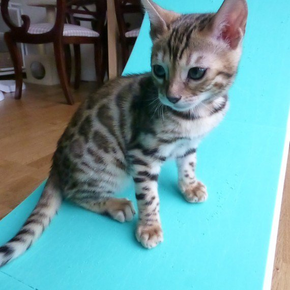 Chatons bengal loof